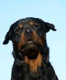 Rottweiler di scortecciamento Fotografie Stock