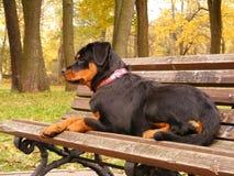 Rottweiler die op de tuinbank ligt Stock Foto's