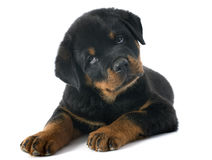 Rottweiler do cachorrinho Imagem de Stock Royalty Free