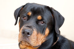 Rottweiler dog. A portrait of a Rottweiler dog Stock Photography