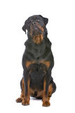 Rottweiler dog Stock Photos