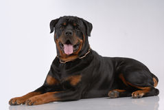 Rottweiler dog Stock Photo