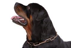 Rottweiler dog Royalty Free Stock Photo