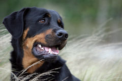 Free Rottweiler Dog Royalty Free Stock Photo - 18339055
