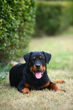 Rottweiler dog. A young female rottweiler,outdoor Royalty Free Stock Photos