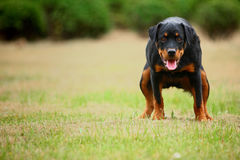 Rottweiler dog. A young female rottweiler,outdoor stock photography