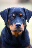 Rottweiler dog. A young female rottweiler, portrait stock images