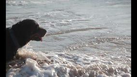Rottweiler dog stock video footage