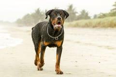 Rottweiler Dog On The Beach Royalty Free Stock Photos