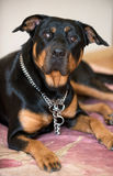 Rottweiler dog Royalty Free Stock Photography