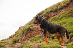 A Rottweiler dog calmly standing on a hill Stock Photos