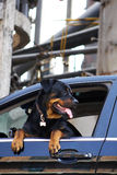 Rottweiler dog in car. A rottweiler dog in car Royalty Free Stock Photography