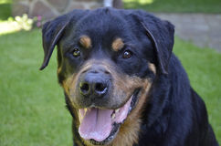 Rottweiler. Dog, Rottweiler, close up portrait Royalty Free Stock Image