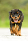 Rottweiler Dog Direct Look Royalty Free Stock Photo
