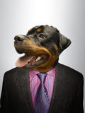 Rottweiler Dog  dressed up as formal business man  Stock Photos