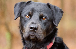 Rottweiler Dog Royalty Free Stock Photo
