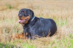 Rottweiler dog grass field Stock Photo