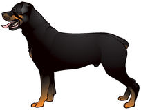 Rottweiler dog illustration Royalty Free Stock Images