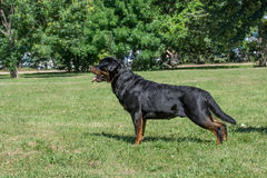 Rottweiler dog lon the green grass outdoor. Selective focus on the dog Stock Photography