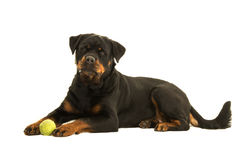 Rottweiler dog lying down Stock Photo