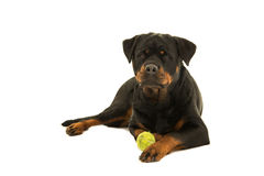 Rottweiler dog lying down Royalty Free Stock Photography