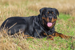Rottweiler. Dog on natural background grass field Royalty Free Stock Photography