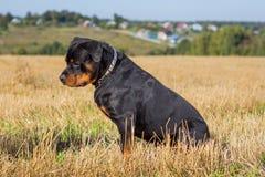 Rottweiler dog natural background grass field Stock Photography
