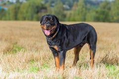 Rottweiler dog natural background grass field Stock Image