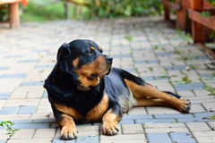 The Rottweiler dog Royalty Free Stock Photo