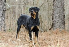 Rottweiler Dog outdoors in woods, Georgia. Large female black and tan German Rottweiler dog with docked tail. Photographed for Walton County Animal Control stock photos