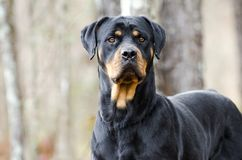 Rottweiler Dog outdoors in woods, Georgia. Large female black and tan German Rottweiler dog with docked tail. Photographed for Walton County Animal Control stock images