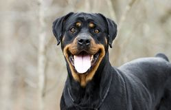 Rottweiler Dog with panting tongue outdoors in woods, Georgia. Large female black and tan German Rottweiler dog with docked tail. Photographed for Walton County stock photo