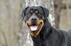 Rottweiler Dog with panting tongue outdoors in woods, Georgia. Large female black and tan German Rottweiler dog with docked tail. Photographed for Walton County royalty free stock photo
