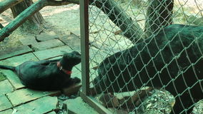 Rottweiler dog playing with black Siamese cat. Stock video stock video footage
