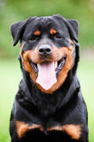 Rottweiler dog portrait Royalty Free Stock Photos