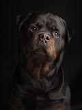 Rottweiler dog portrait Royalty Free Stock Photography