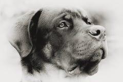 Rottweiler Dog Portrait Monochrome. Profile Portrait Of An Adult Male Purebred Rottweiler Monochrome Narrow Dof Focus On The Eye Stock Images