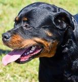 Rottweiler dog portrait Stock Photography