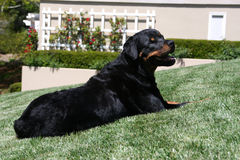 Rottweiler posed on the lawn Royalty Free Stock Photos