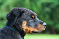 Rottweiler dog pup Stock Photography