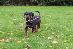 Rottweiler dog pup playing with stick Stock Photography