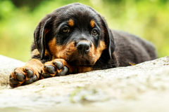 Rottweiler Dog Pup. Portrait Of An Young Rottweiler Pup Two Months Old Stock Photo