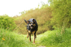 Rottweiler dog Stock Images
