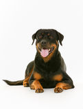 Rottweiler dog. Purebred rottweiler dog isolated on white background in studio Stock Image