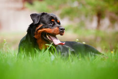Rottweiler dog resting on the grass Stock Image