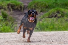 Rottweiler Dog Running In The Rain. Funny Young Male Rottweiler Dog Running And Jumping In The Rain, Training for k9 stock photography