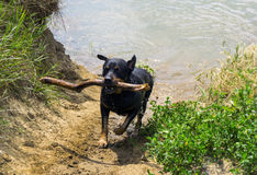 Rottweiler dog running with stick Royalty Free Stock Photography