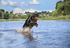 Rottweiler dog. Running in the water Royalty Free Stock Photos