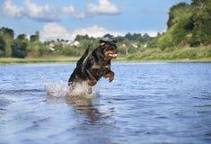 Rottweiler dog Royalty Free Stock Photos