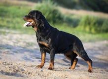 Rottweiler dog Stock Photography